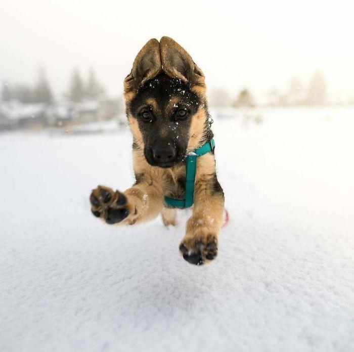 Очаровательные щенки немецкой овчарки на снимках