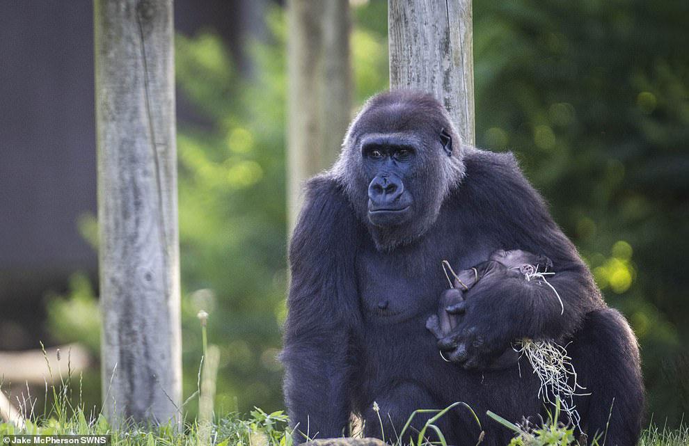 Новорожденная горилла и ее мама на снимках
