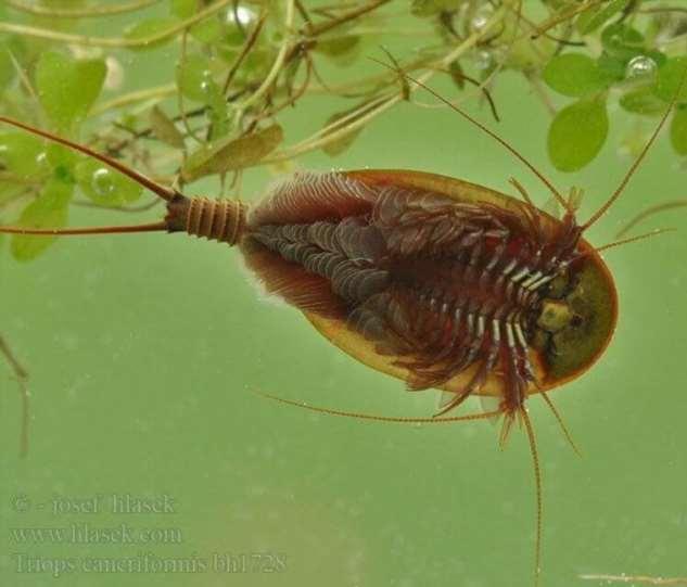 Щитни - самые древние животные, которые ещё не вымерли