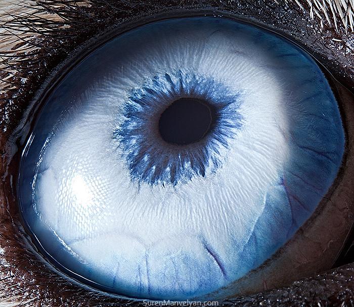 Глаза животных на снимках армянского фотографа Сурена Манвеляна