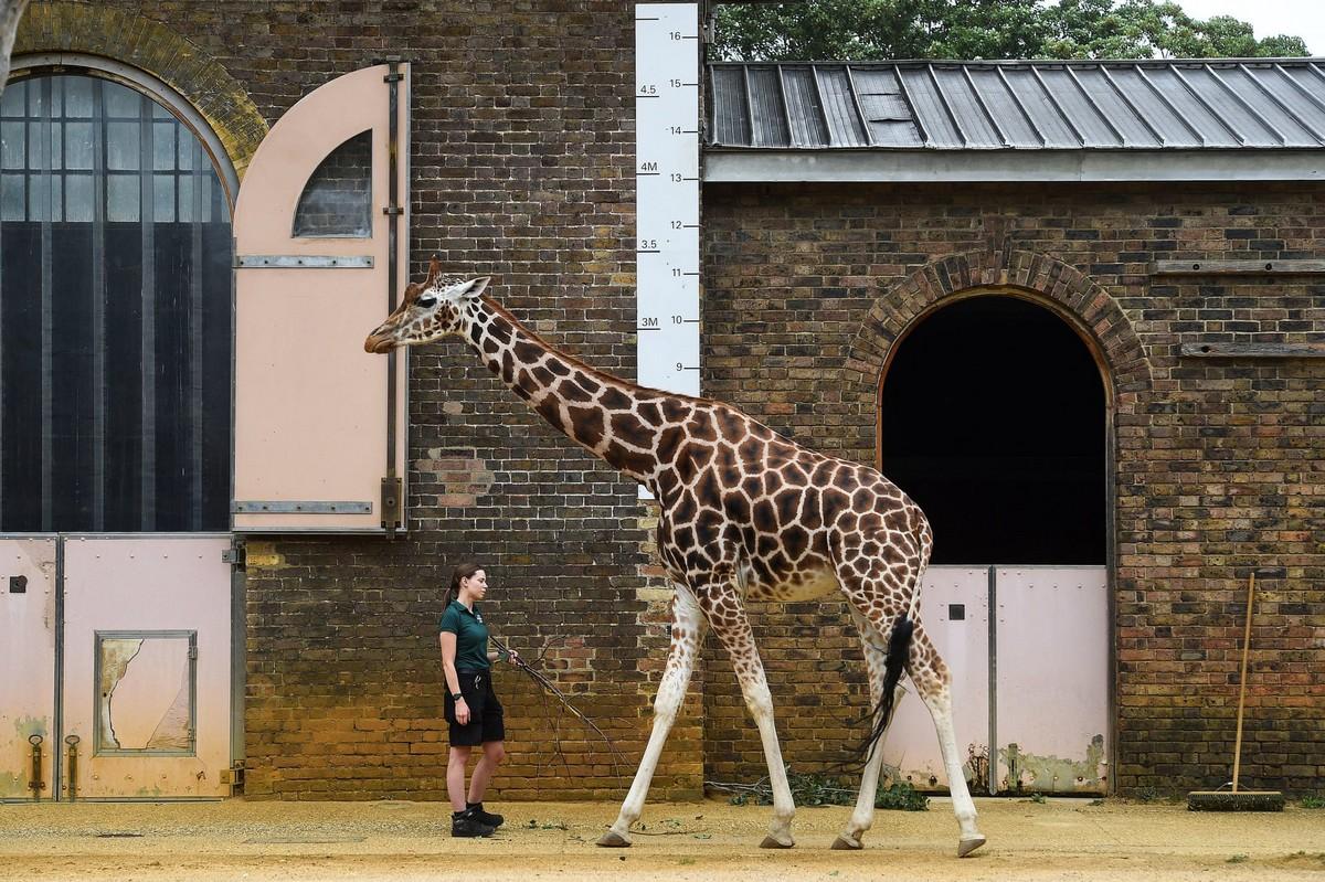 Ежегодное взвешивание и измерение животных в Лондонском зоопарке