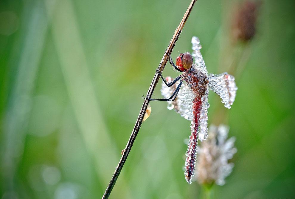 Красивые макроснимки стрекоз в капельках росы