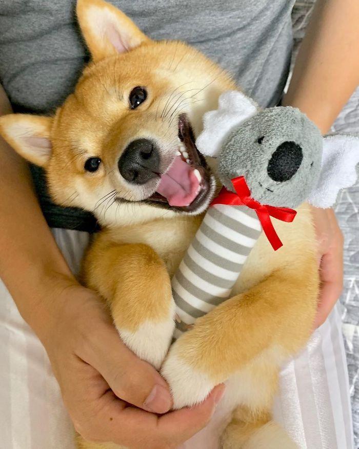 Сиба-ину Уни прославился своей улыбкой