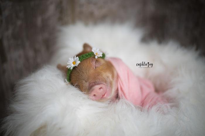 Приятные снимки спящего новорождённого поросёнка