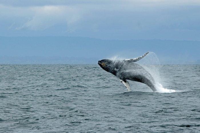 Из-за чего синие киты не болеют раком?