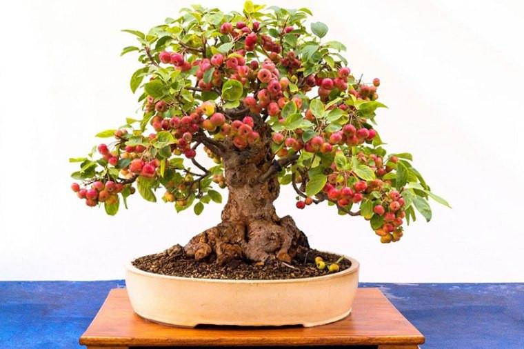 Миниатюрные плодовые деревья-бонсай