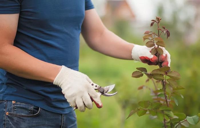 Советы профессионалов по обрезанию роз в саду