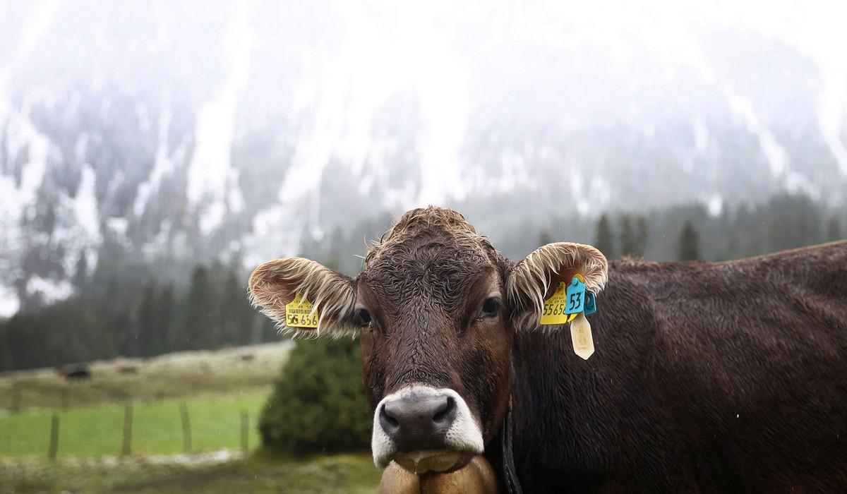 Буренки спустились с гор в Германии