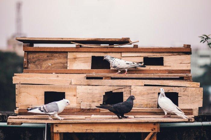 Как почтовые голуби доставляют послания?