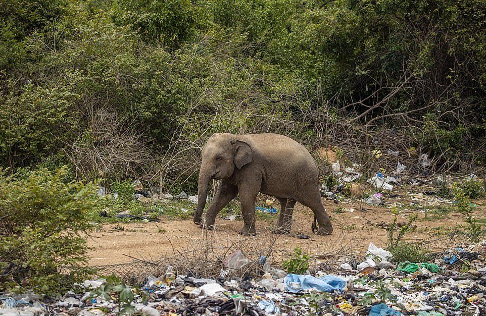 Стадо слонов ело мусор на свалке в Шри-Ланке