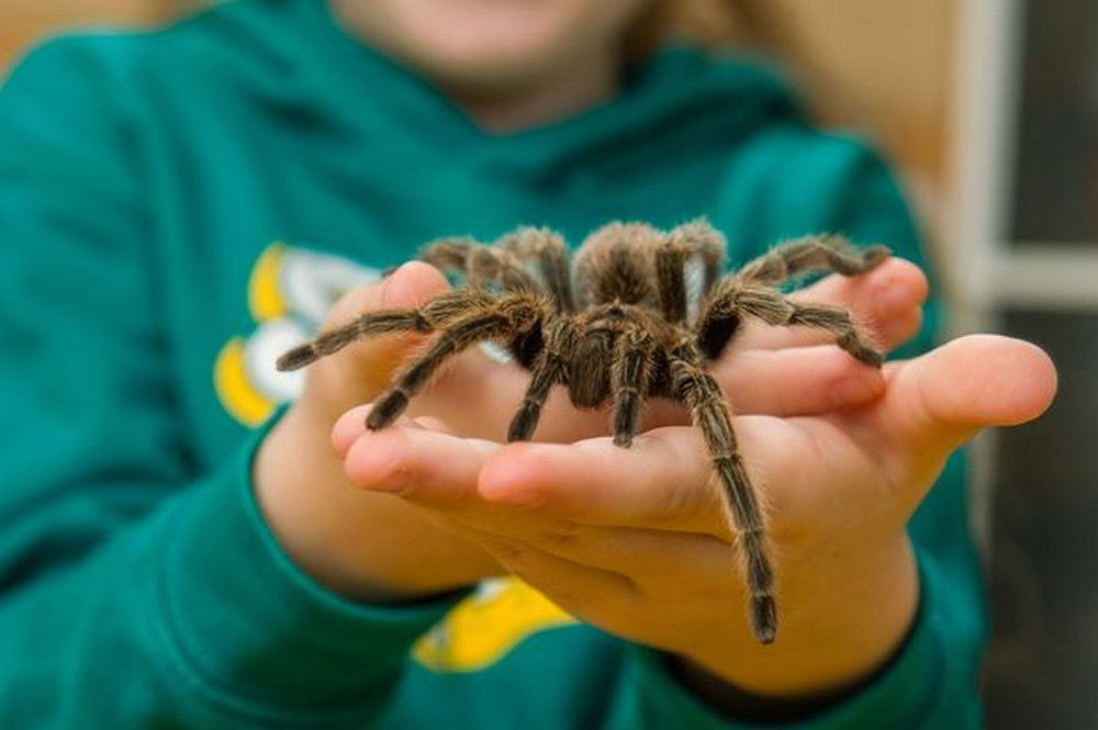 Восьмилетняя девочка из Великобритании делит комнату с полусотней тарантулов