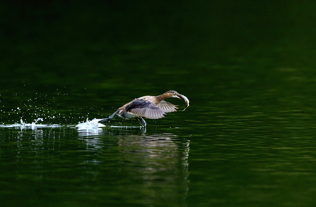 Как птицам удаётся ходить по воде?