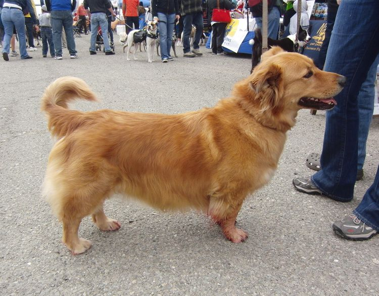 Собаки, скрещенные с корги, выглядят очень причудливо