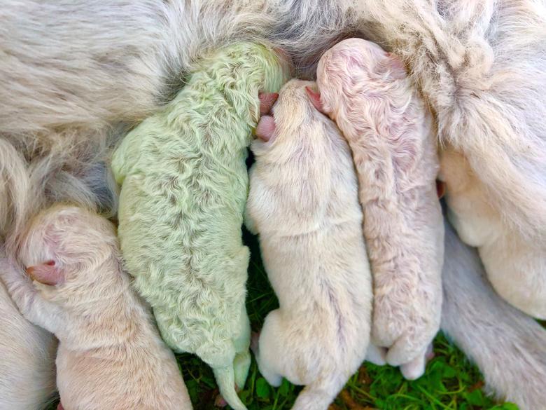 Щенок родился с зеленым мехом