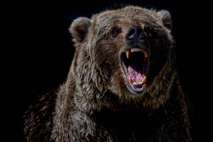 Что может произойти, если разбудить медведя во время спячки?