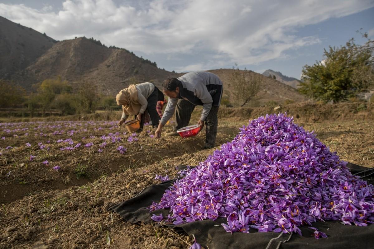 Драгоценная специя шафран из цветка в Кашмире