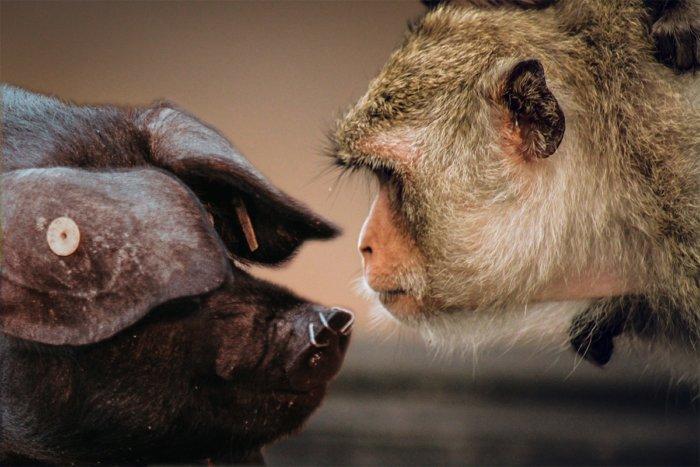 Почему донором человеку является свинья, а не обезьяна