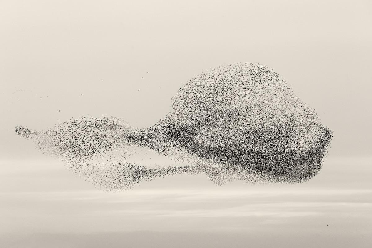 Фотограф пытается запечатлеть самые невероятные мурмурации птиц
