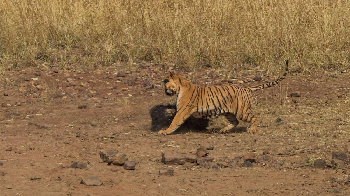 Тигр напал на смертоносного медведя в индийском заповеднике