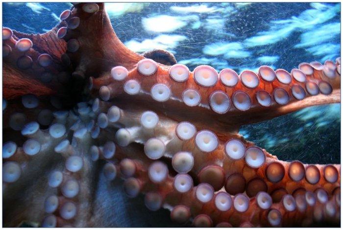Почему осьминоги умеют ощущать вкус своими щупальцами?