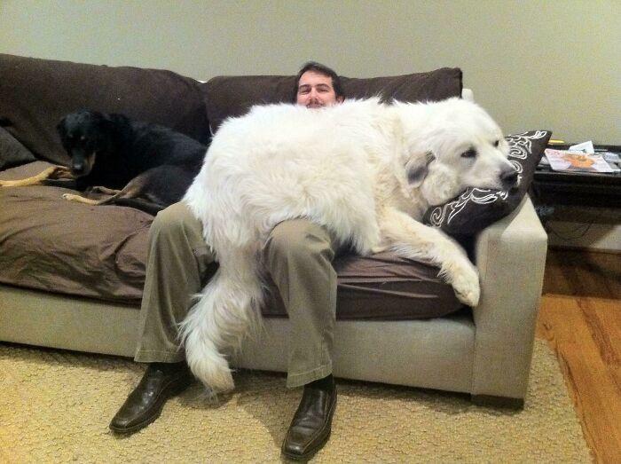 Шерстяные гиганты, которые не подозревают о своём размере