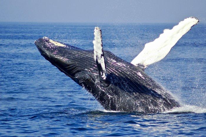 Почему киты с давних времён выбрасываются на берег?