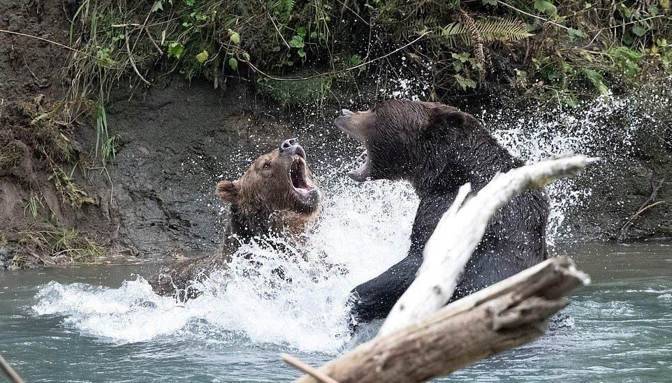 Медведи гризли подрались за право ловить лосося в канадской реке