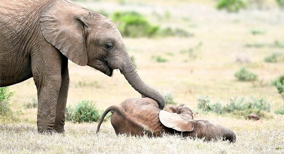 Слоненок играет со старшим братом на снимках