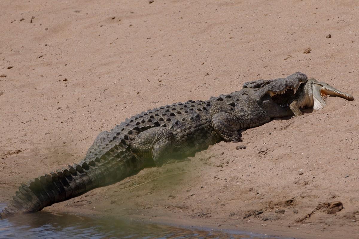 Крокодил-каннибал сожрал молодого сородича