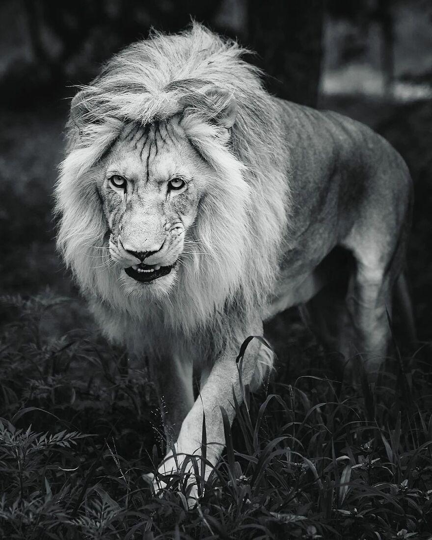 Величественные львы на снимках британского фотографа