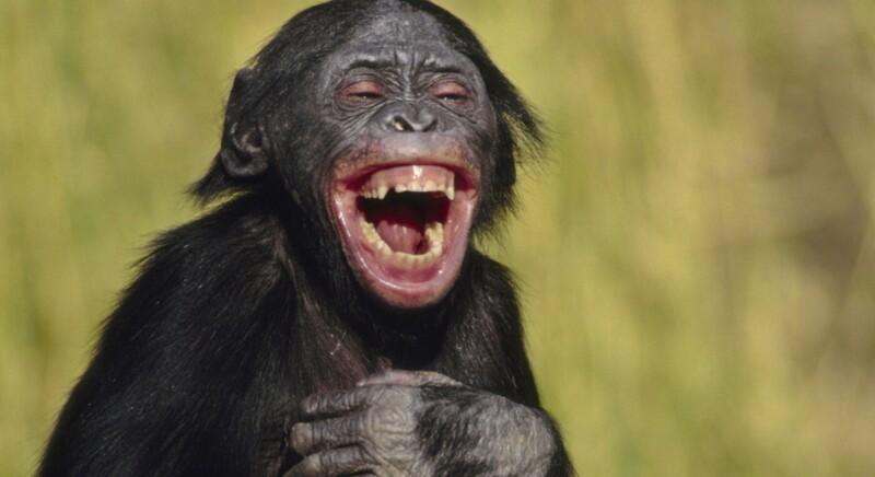 Почему шимпанзе кидаются своими кучками?