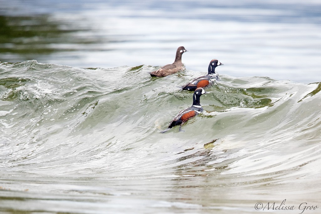 Птицы и животные на снимках Мелиссы Гроо