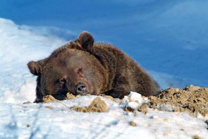 Интересные факты из жизни медведя шатуна