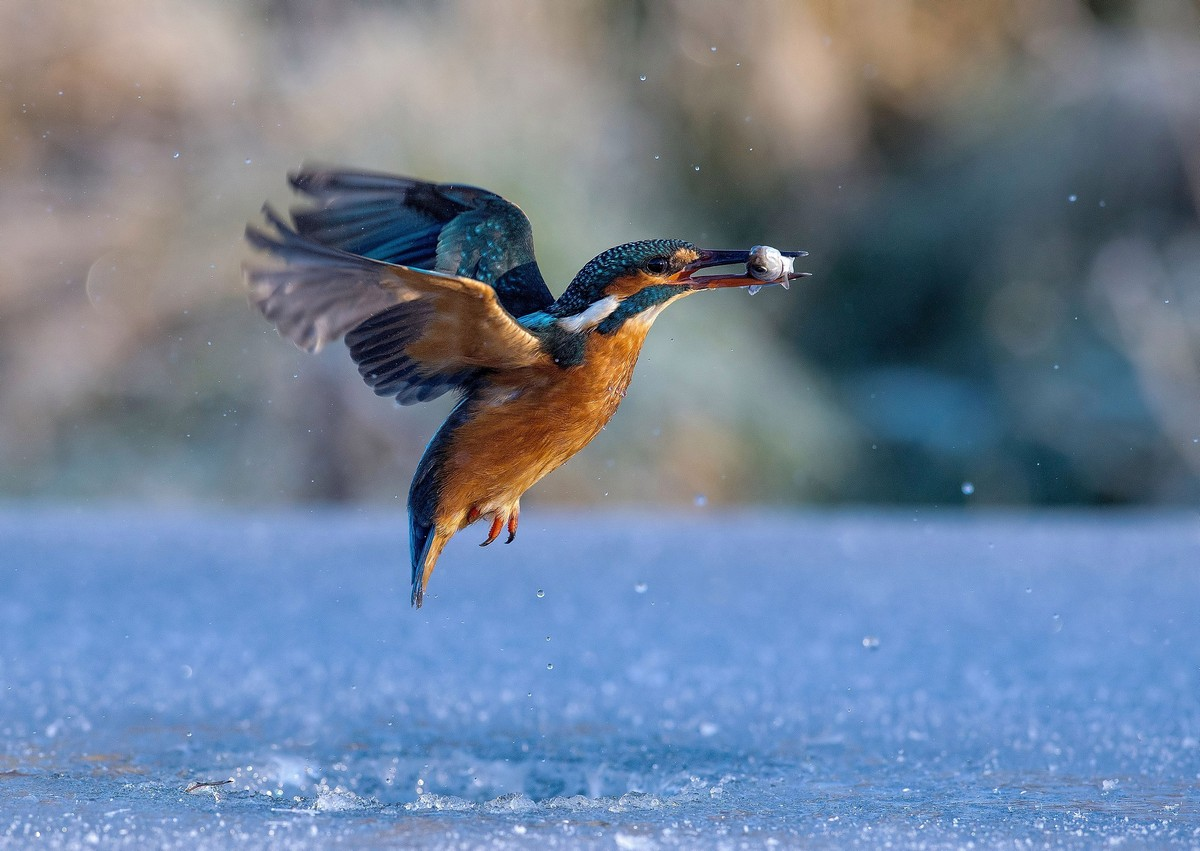 Зимородок ныряет в ледяное озеро, чтобы поймать рыбку