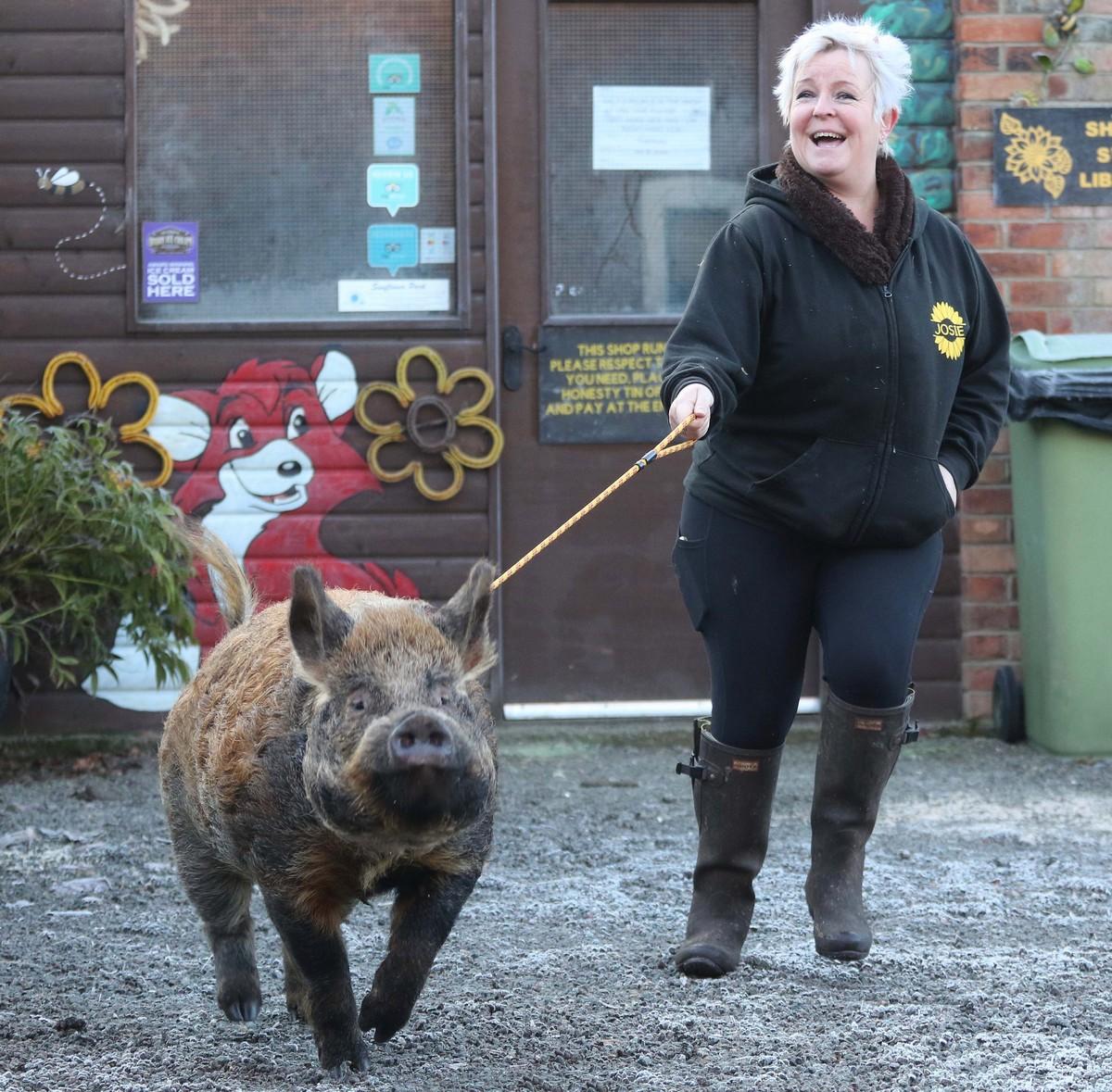 Свинья ходит на поводке и думает, что она собака