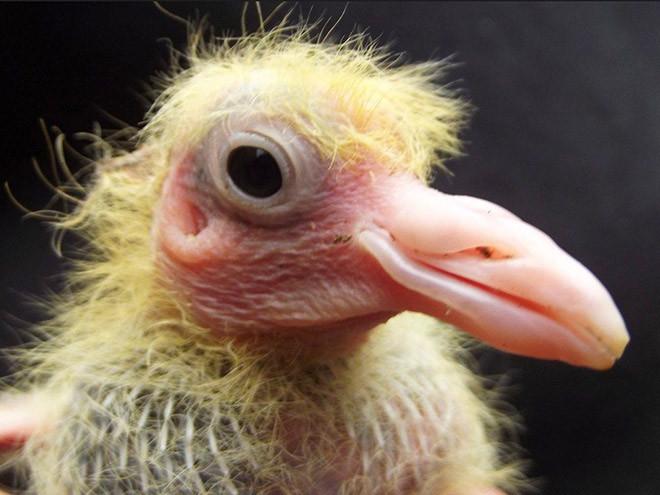 Птенцы голубей: они стесняются своей внешности?