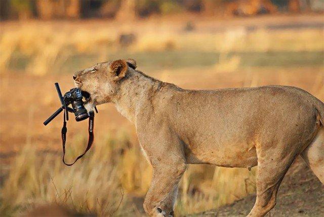 Любопытные животные, которые мешают фотографам