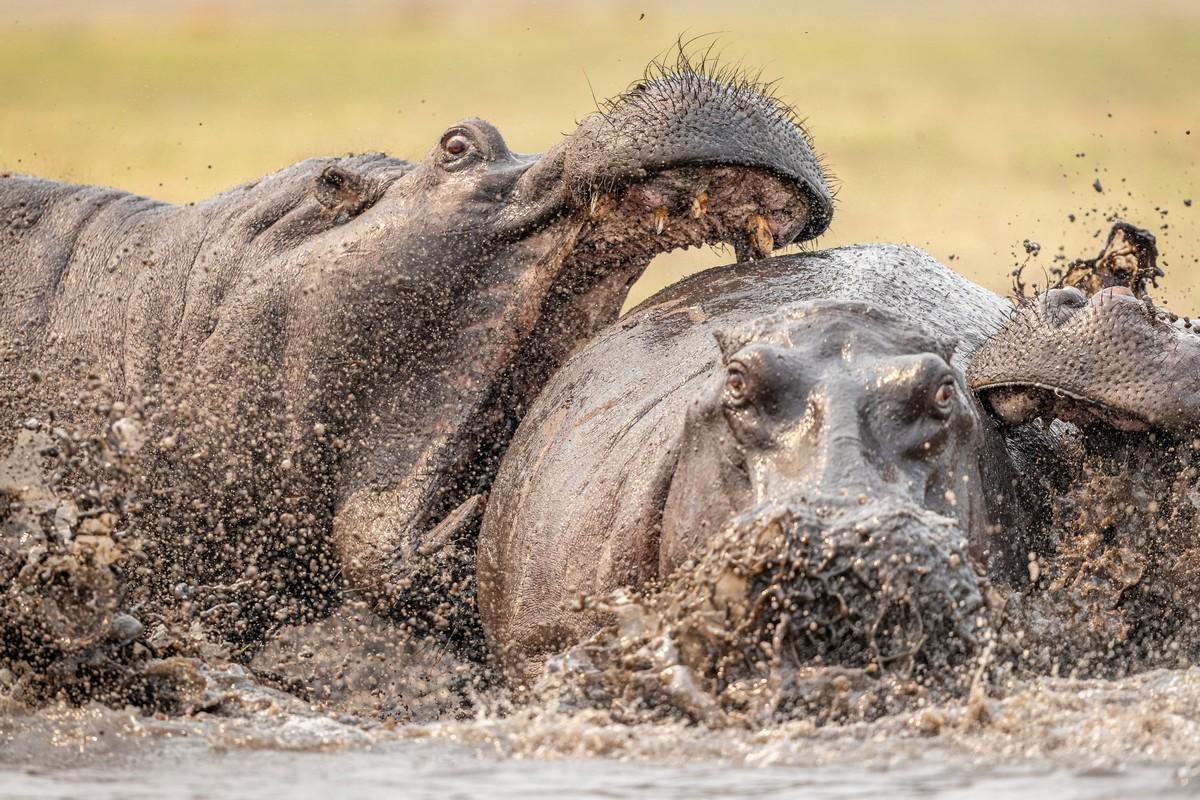 Огромные гиппопотамы подрались в Ботсване