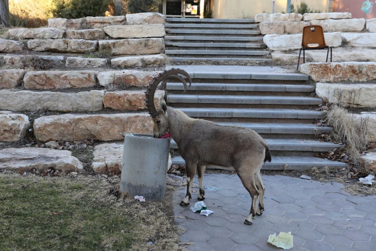 Нубийские горные козлы оккупировали израильский городок