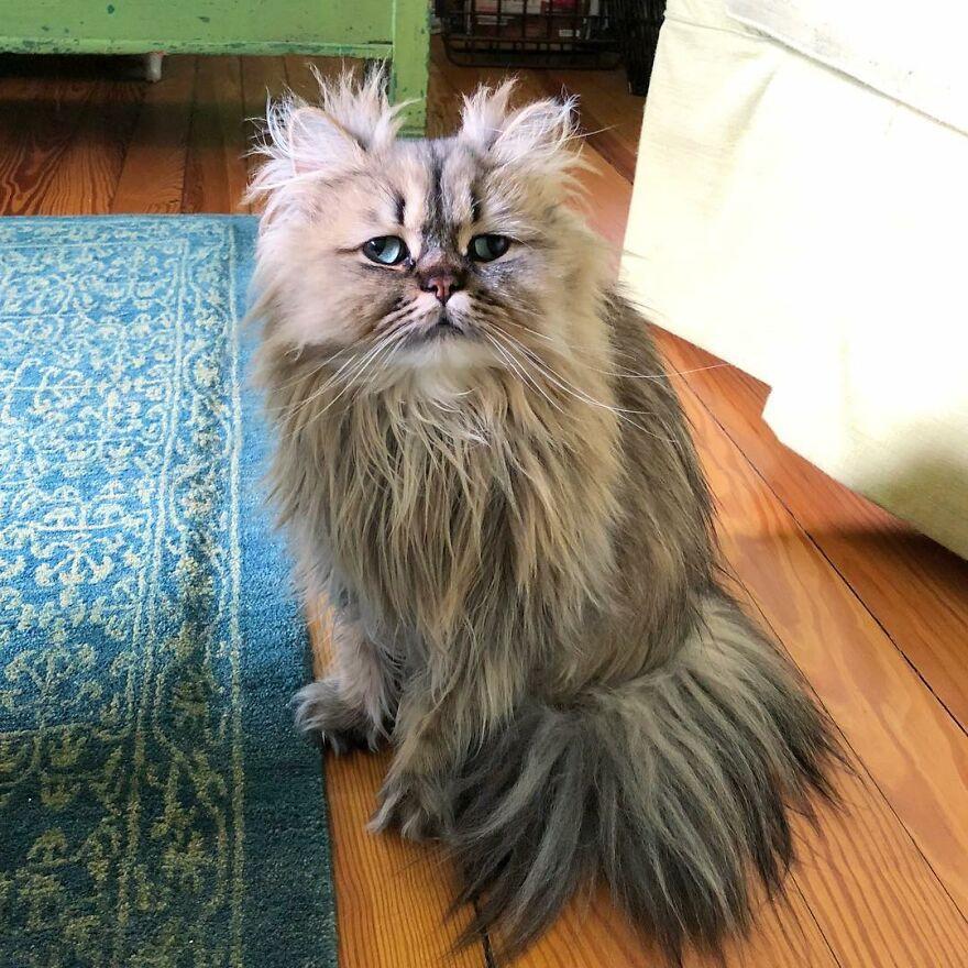Пушистый кот Барнаби, который выглядит как понедельник