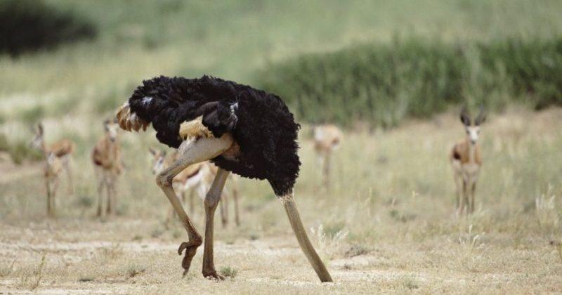 Прячет ли на самом деле страус голову в песок?