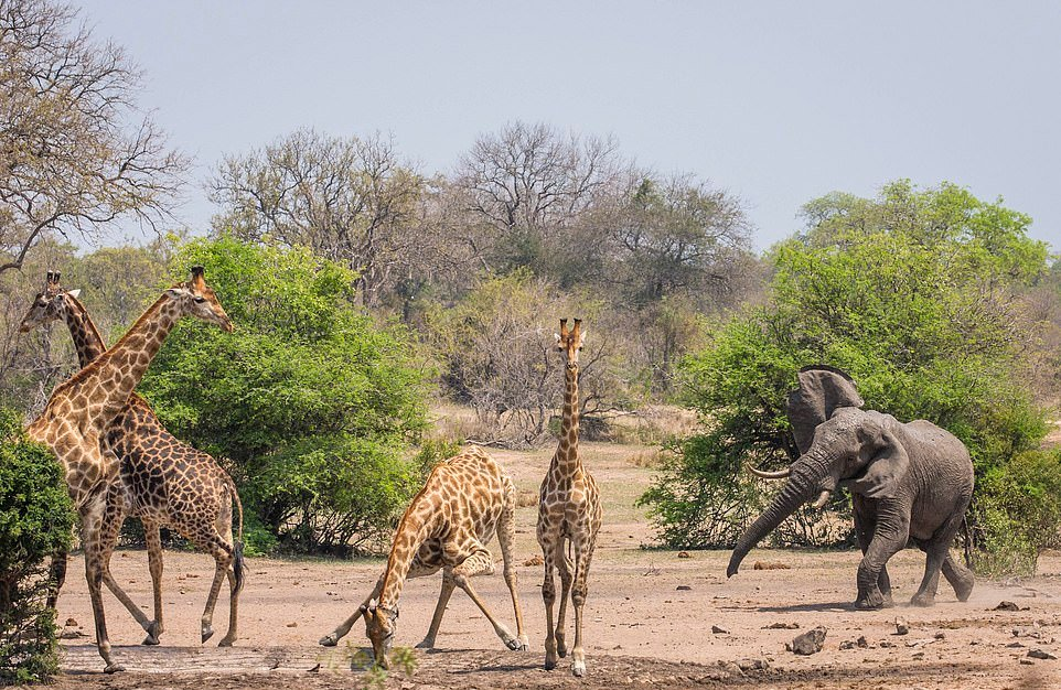 Разъяренный слон прогнал жирафов с водопоя