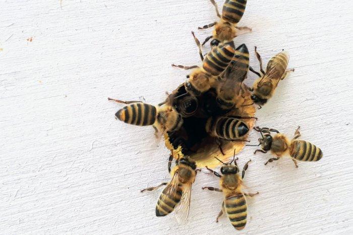 Что случится, если пчела укусит пчелу?
