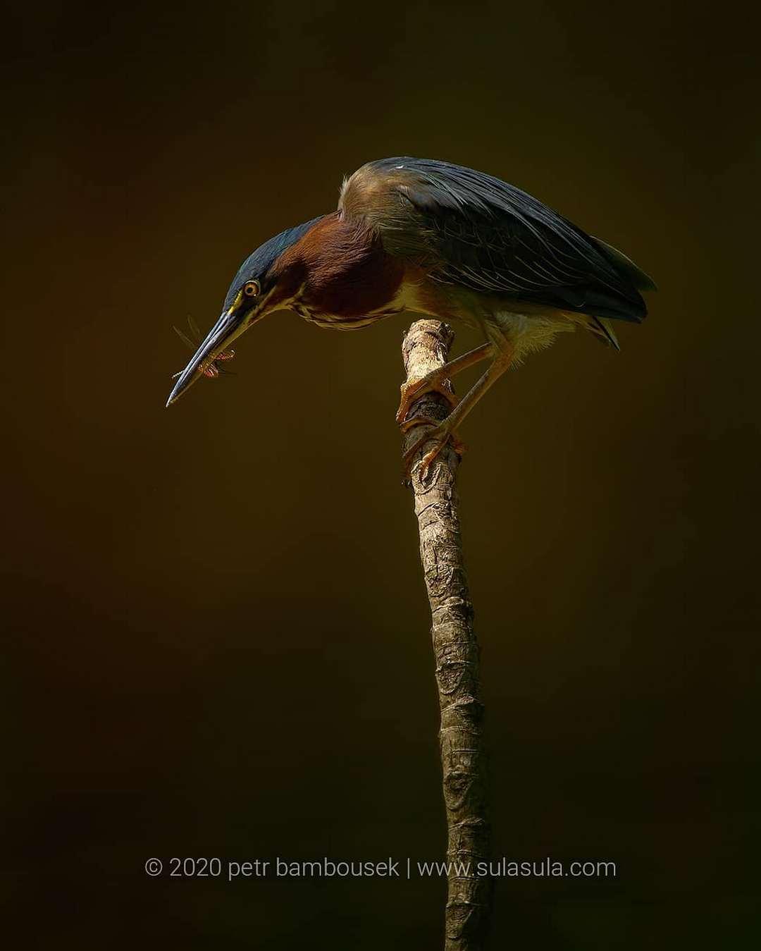 Удивительные птицы и животные на снимках Петра Бамбусека