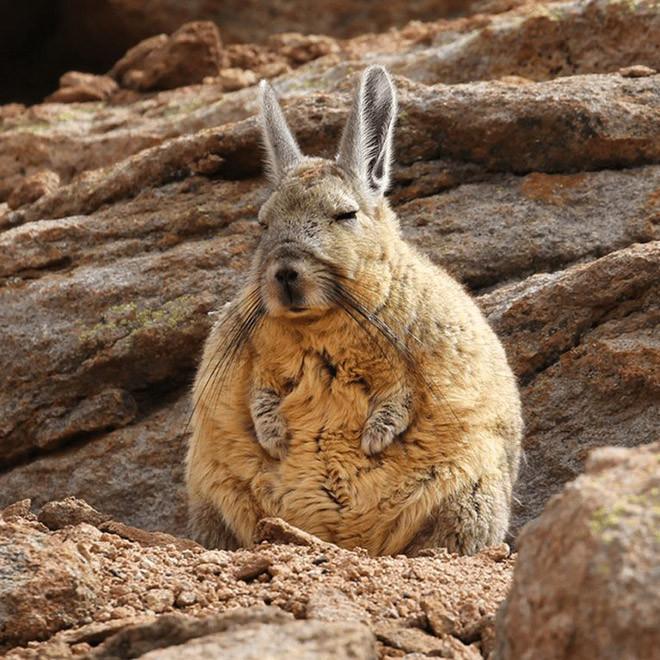 Вискаша — это выглядящее сонным и уставшим существо Животные