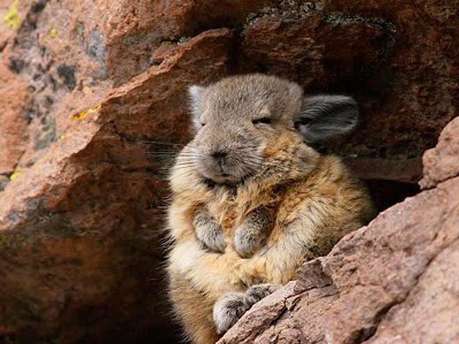 Вискаша — это выглядящее сонным и уставшим существо