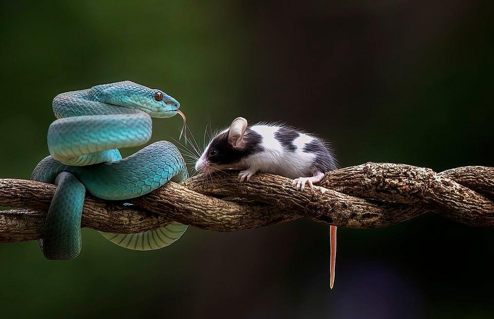 Любопытная мышка решила понюхать синюю гадюку
