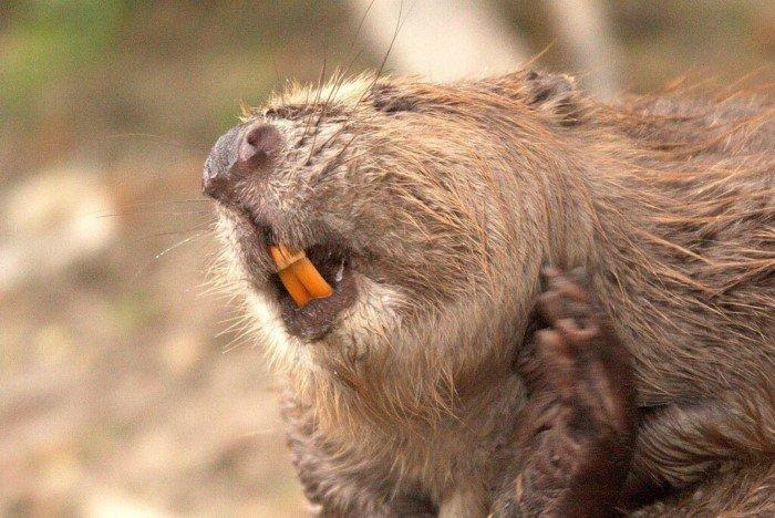 Интересные факты из жизни бобров