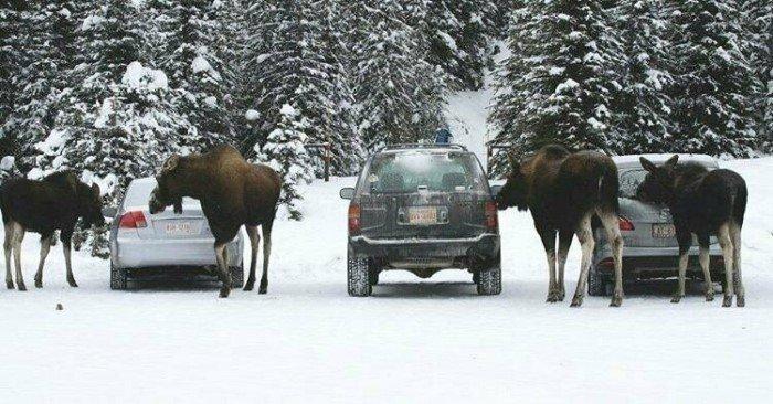 Зачем лоси зимой облизывают автомобили?