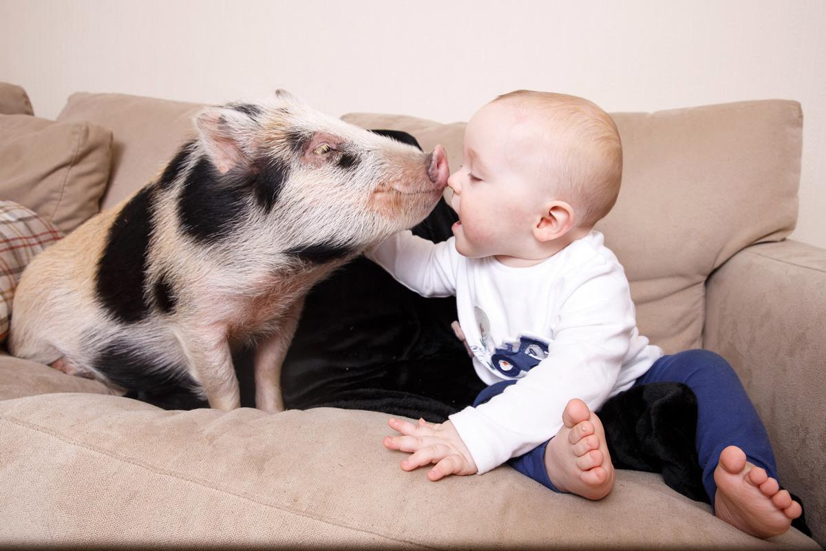 Дружба малыша Тедди и миниатюрной свинки